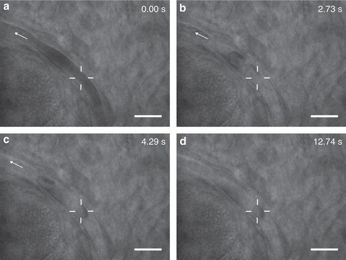 Рис. 3. Захват эритроцита в капилляре живой мыши при помощи оптического пинцета