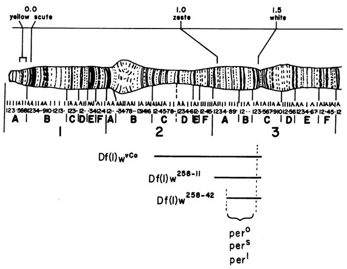 Картирование гена per