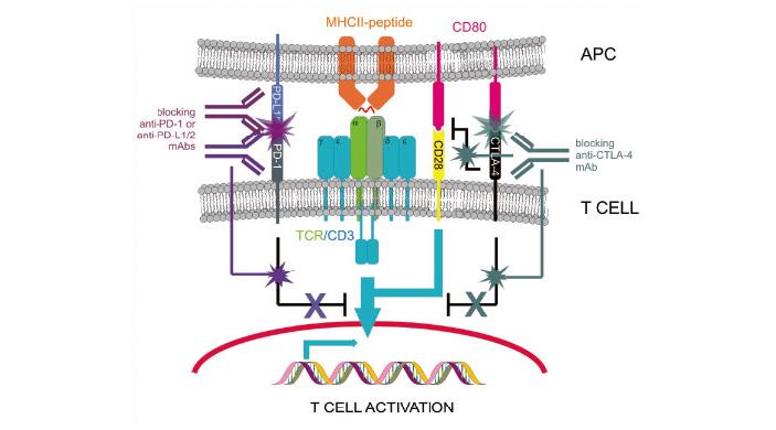 Рис. 6. Иммунный синапс с участием антител-блокаторов ингибирующих сигналов