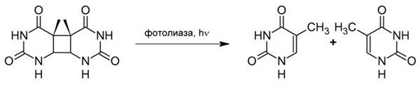 Рис.1. Реакция, катализируемая фотолиазой