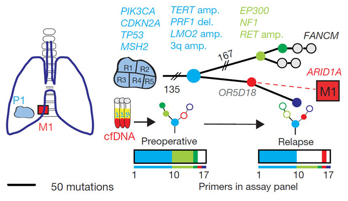 Рис. 2. Филогенетическое дерево, показывающее эволюционные взаимоотношения различных участков опухоли и метастаза по мутациям, найденным в первичной опухоли и метастазе одного из пациентов