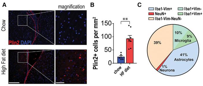 Рис. 5. Сенесцентные клетки в мозге