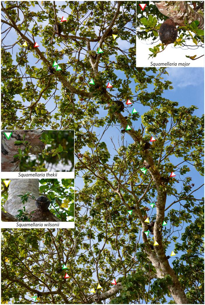 Рис. 1. Ветка дерева из рода Macaranga, несущая 28 эпифитных растений Squamellaria