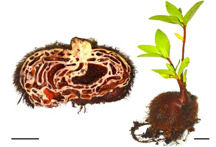 Рис. 3. Squamellaria jebbiana (один из фиджийских видов-генералистов)