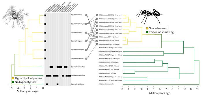 Рис. 5. Филогенетическое дерево сквамеллярий и муравьев