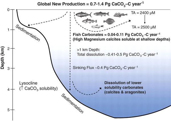 Схема, показывающая образование и растворение CaCO3 вокеане на разных глубинах. Правая часть рисунка демонстрирует включение вэтот процесс костистых рыб. Произведенный рыбами карбонат (аэто 0,04–0,11Пг углерода вCaCO3 загод) содержит много магния и, как правило, растворяется на глубинах менее 500м, тогда как основная масса кальцита растворяется только на глубинах более одного километра. Если произведенный рыбами карбонат попадет на дно на мелководьях, он может покрыться сверху осадками и надолго выйти из круговорота. TA— total alkalinity (общая щелочность— сумма анионов слабых кислот, выраженная вмикромолях HCO3–). Рис. из обсуждаемой статьи вScience