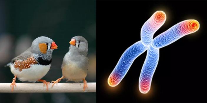 Рис. 1. Зебровые амадины и компьютерная модель хромосомы