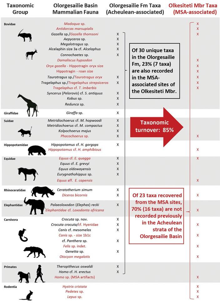 Рис. 3. Смена фауны млекопитающих в Олоргесейли в среднем каменном веке по сравнению с ашелем