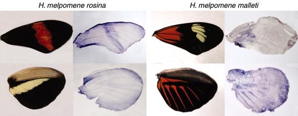 Соответствие красных пятен на крыльях и областей экспрессии гена optix в зачатках крыльев (окрашены темно-синим) у двух рас вида H.melpomene. Изображение из обсуждаемой статьи вScience