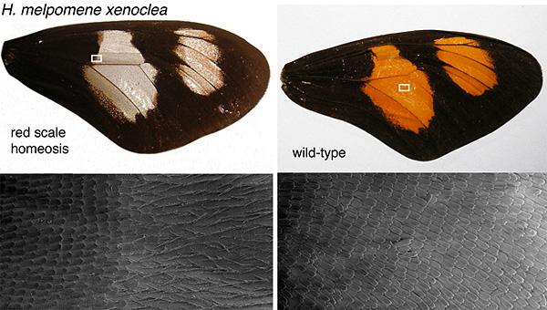 У геликонии-мутанта с белыми пятнами на крыльях (слева) чешуйки, покрывающие пятно, имеют необычную заостренную форму. Такие же заостренные чешуйки развиваются у бабочек, не относящихся к роду Heliconius, на тех участках крыла, где активен ген optix. Справа— крыло нормального представителя тогоже вида геликоний. Изображение из дополнительных материалов к обсуждаемой статье вScience