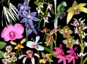 Орхидные— самое разнообразное семейство растений на Земле (коллаж с сайта www.anbg.gov.au)