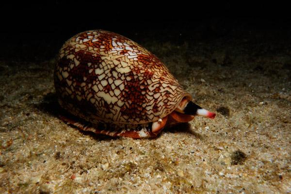 <b>Рис. 1.</b> Конус ползет по морскому дну впоисках добычи