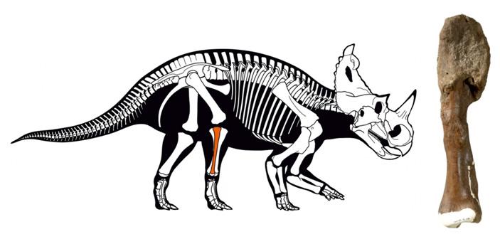 Остеосаркома у 76-миллионолетнего центрозавра подтверждена палеогистологически