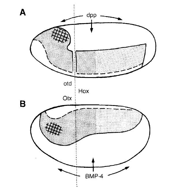 Экспрессия некоторых гомеозисных генов в зародышах мухи-дрозофилы и лягушки