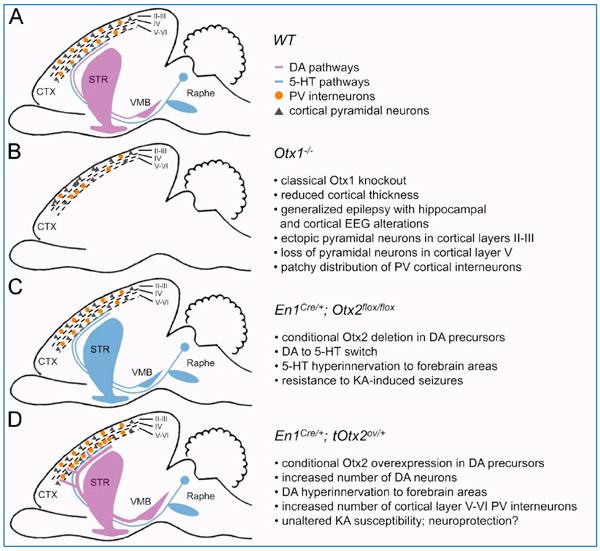 Действие мутаций Otx-генов на мозг мыши