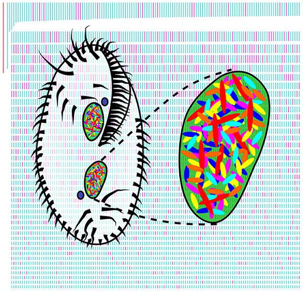 Рис. 1. Схематичное изображение инфузории Oxytricha trifallax и ее уникального генома на обложке номера журнала PLOS Biology, вкотором опубликована статья