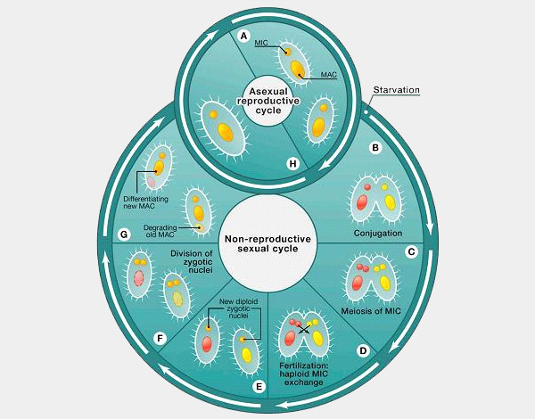 Рис.2. Схема жизненного цикла ресничных инфузорий