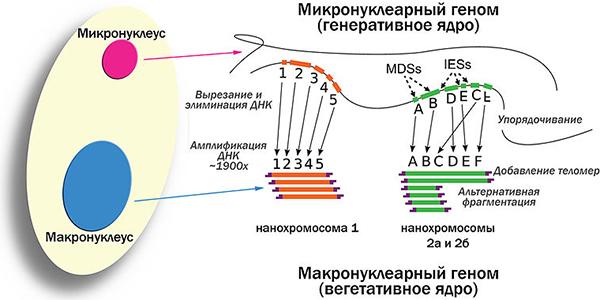 Рис.3. Схема геномных перестроек, происходящих впроцессе развития макронуклеуса из микронуклеуса уOxytricha