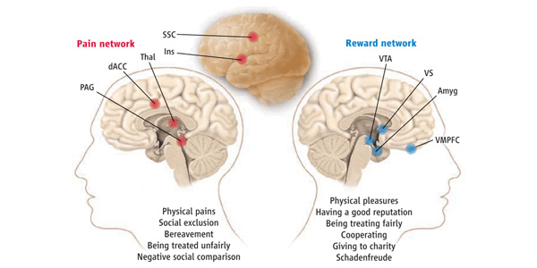 Системы в мозгу, связанные с обработкой болевых сигналов (Pain network), включая и социальную боль, и получением положительного подкрепления (Reward network). Система обработки болевых сигналов состоит из дорсальной зоны передней поясной коры (dACC— dorsal anterior cingulated cortex), островка (Ins— insula), соматосенсорной коры (SSC— somatosensory cortex), таламуса (Thal— thalamus), центрального серого вещества (PAG— periaqueductal gray). Система положительного подкрепления, или получения награды, состоит из вентральной области покрышки (VTA— ventral tegmental area), вентральной части полосатого тела(VS— ventral striatum), вентромедиальной префронтальной коры (VMPFC— ventromedial prefrontal cortex) и миндалины (Amyg— amygdala). Рис. ©K. Sutliff из обсуждаемой статьи вScience