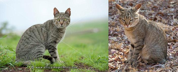 <b>Рис. 1.</b> Африканские дикие кошки внешне почти неотличимы от домашних