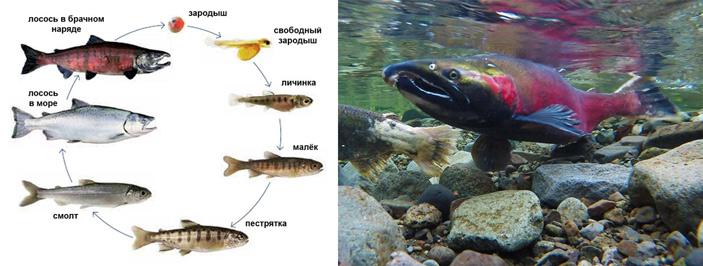 Рис. 2. Жизненный цикл атлантического лосося и кижуч в брачном наряде
