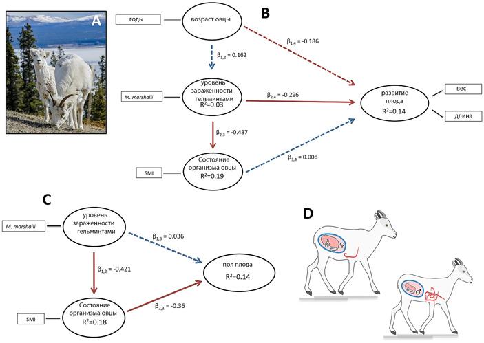 Размер и пол ягнят зависят от количества паразитов вкишечнике овцы