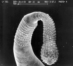 Передний конец тела взрослого скребня с крючками для заякоривания в кишечнике хозяина. Фото с сайта unife.it