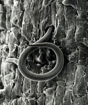 Нематода Meloidogyne incognita (увеличенная в 500раз) проникает в корень томата. Фото с сайта www.sciencedaily.com