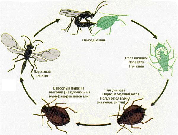 Схема жизненного цикла тлевого