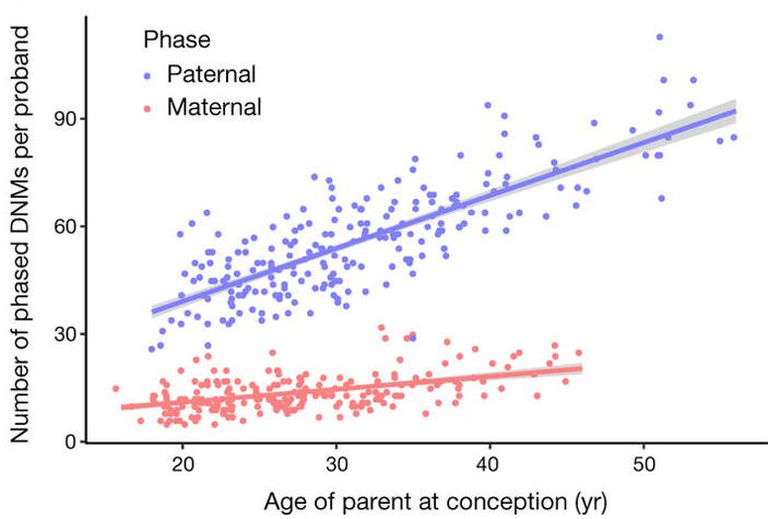 Рис. 3. Связь числа новых мутаций, полученных от отца и матери, с возрастом родителя
