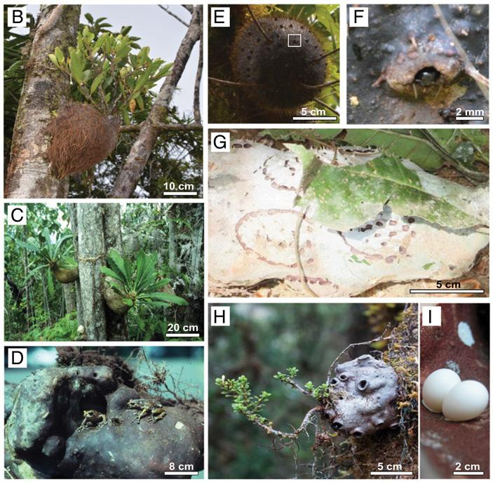 Примеры гиднофитовых, использующих разные экологические стратегии