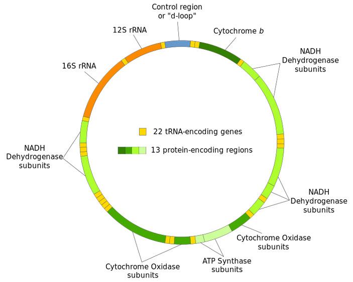 Предложен новый механизм наследования митохондриальной ДНК от отца