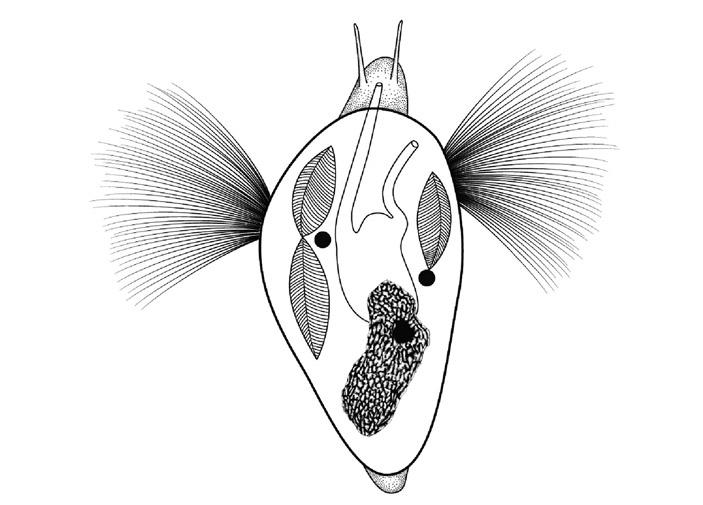 Раннекембрийские предки улиток уже обзавелись раковиной, но еще обладали органами кольчатых червей