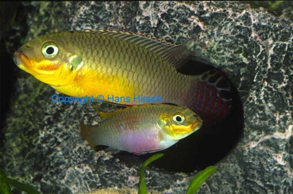 http://elementy.ru/images/news/pelvicachromis_taeniatus_big_&_small_600.jpg