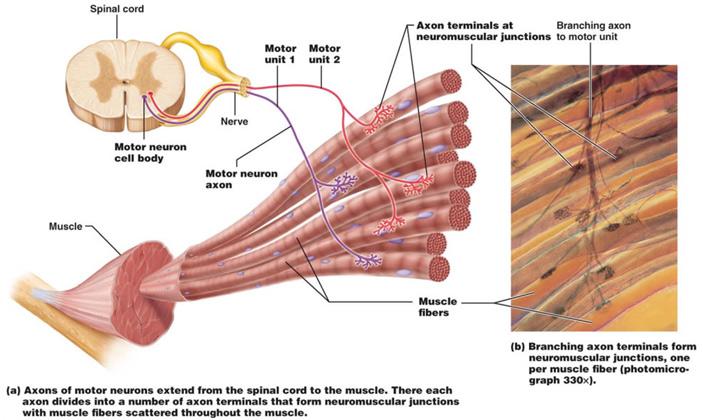 Рис. 2. Строение моторных единиц скелетных мышц