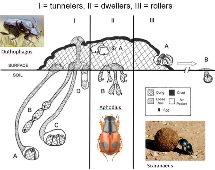 Рис. 2. Три стратегии заботы о потомстве, распространенные среди жуков-навозников