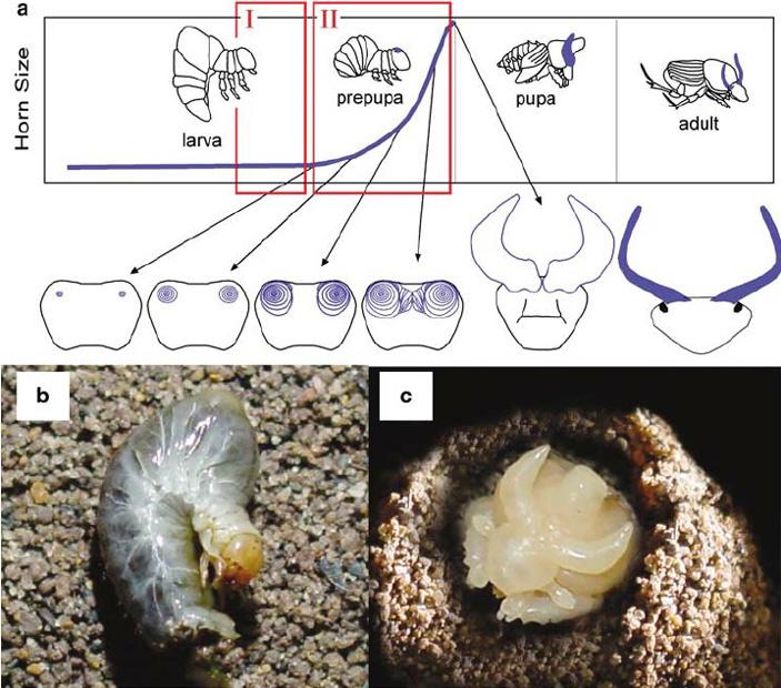 Рис. 3. Последовательность стадий развития личинки жука-навозника