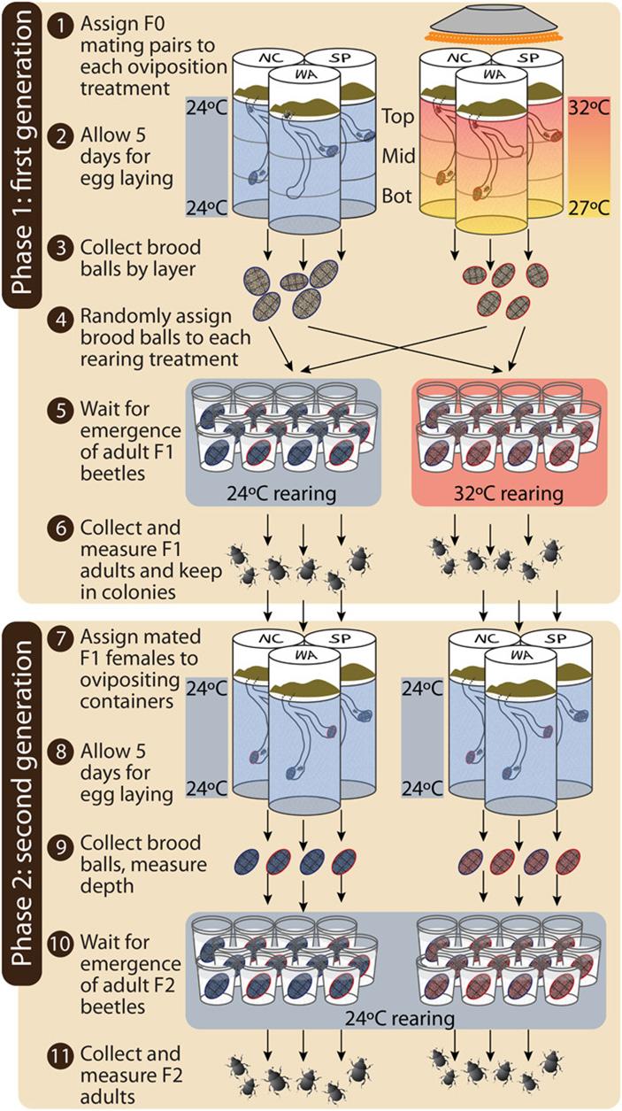 Рис. 5. Схема эксперимента по адаптации жуков к отклонениям температуры почвы