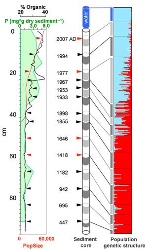 За несколько столетий дафнии адаптировались кколебаниям концентрации фосфора возере