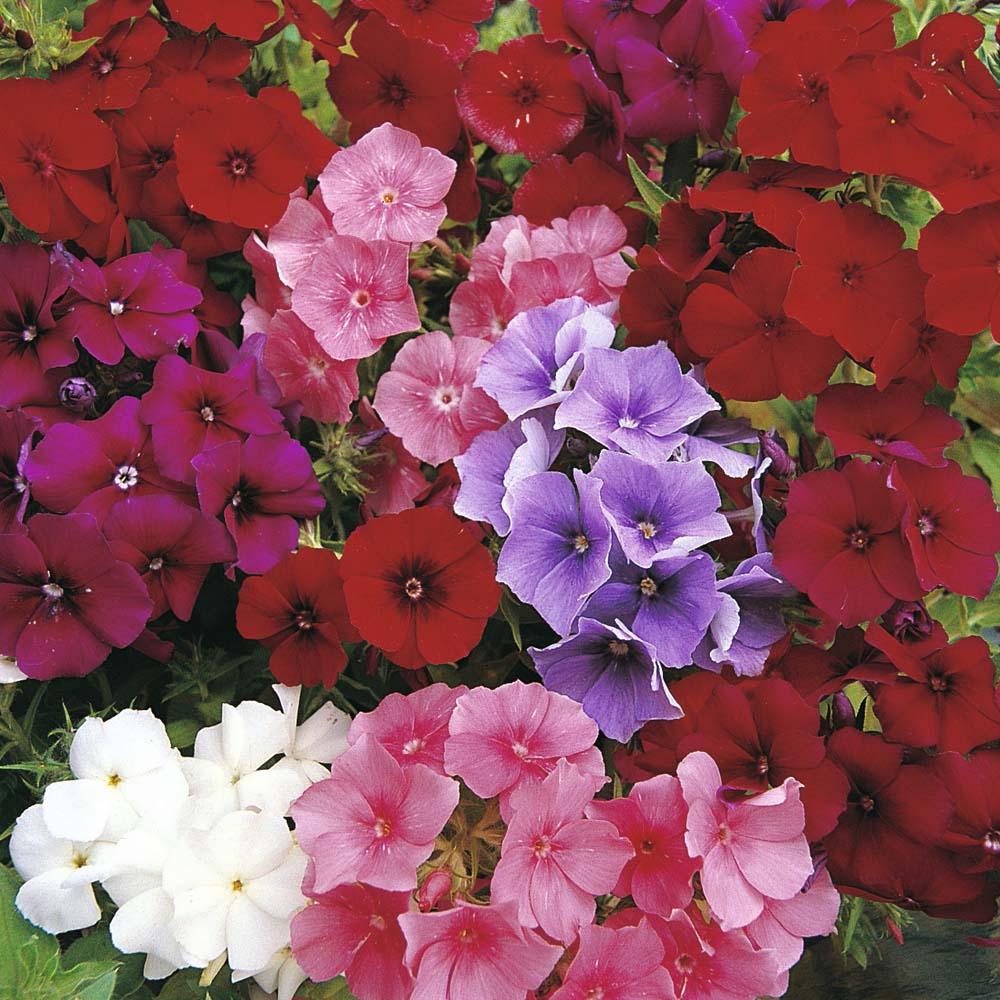 Флоксы друммонда цветов
