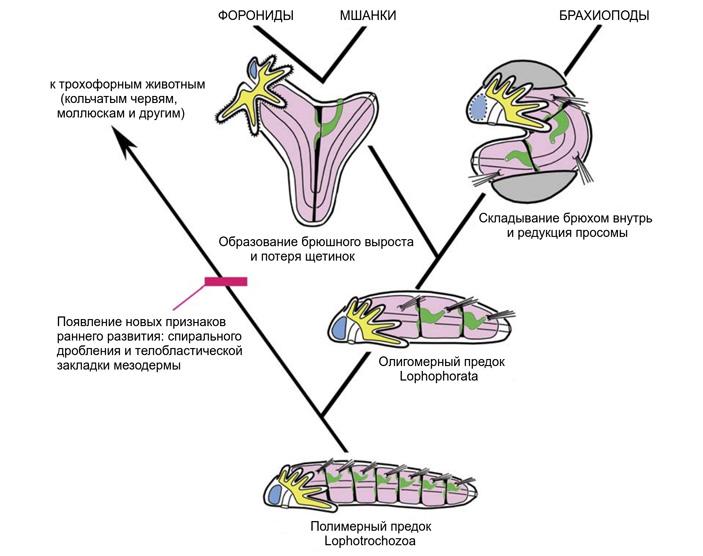 Рис. 3. Общий сценарий происхождения и эволюции лофофоровых животных, согласно Е. Н. Темеревой и В. В. Малахову