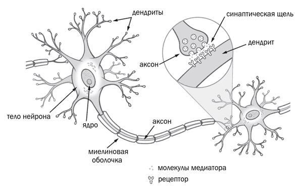 Схема нейрона и синапса