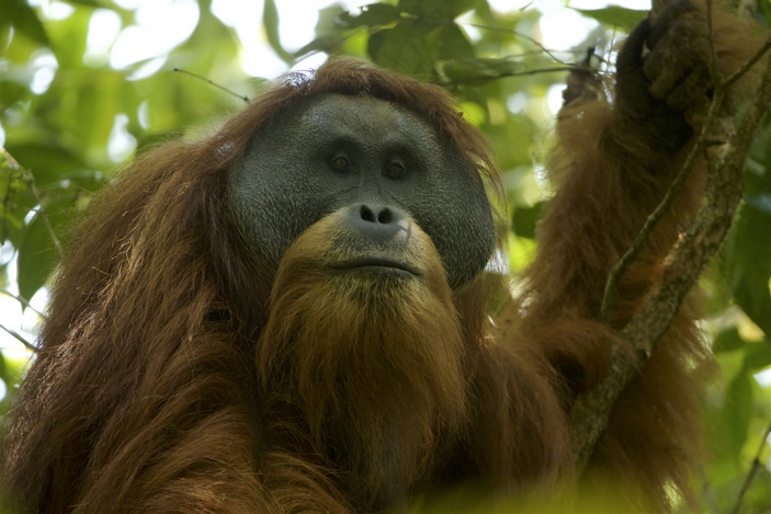Тапанульский орангутан, самец