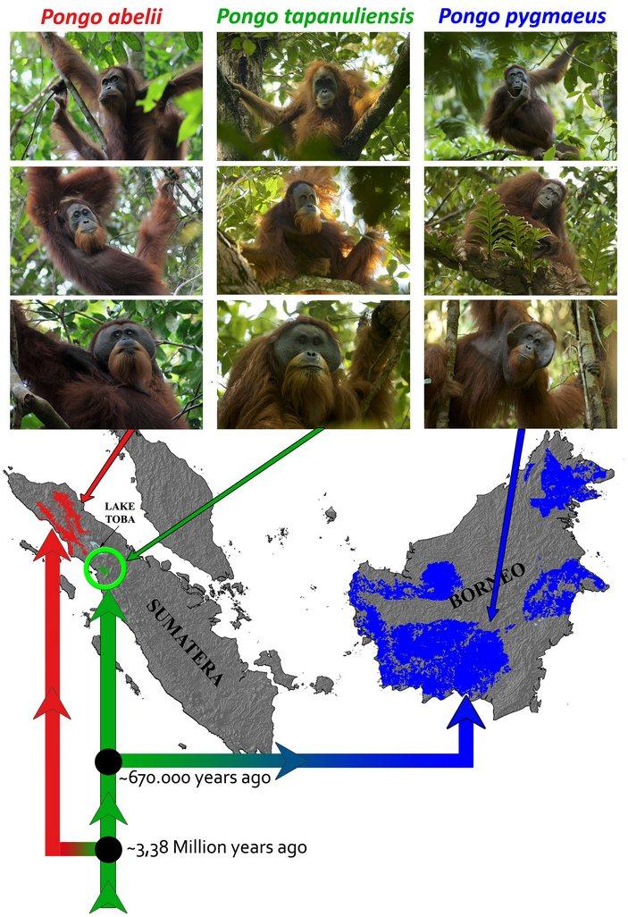 Ареал трех видов орангутанов