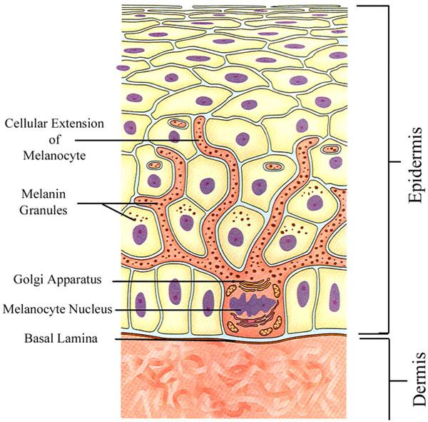 Меланоцит фото