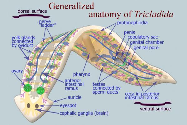 Анатомическое строение планарии. Рисунок с сайта www.geochembio.com