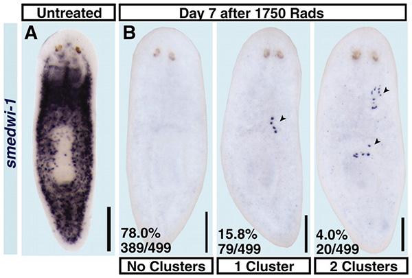 Кластеры необластов на седьмой день после облучения. Маркированы синим продукты экспрессии smedwi-1. Фото из обсуждаемой статьи «Clonogenic Neoblasts Are Pluripotent Adult Stem Cells That Underlie Planarian Regeneration» вScience