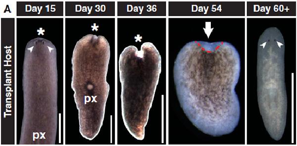 После облучения дозой в 6000рад начинается дегенерация тканей, и червь совсей неизбежностью умирает. Однако, если ему пересадить один необласт, то начнется регенерация отмерших тканей. Фото из обсуждаемой статьи «Clonogenic Neoblasts Are Pluripotent Adult Stem Cells That Underlie Planarian Regeneration» в Science