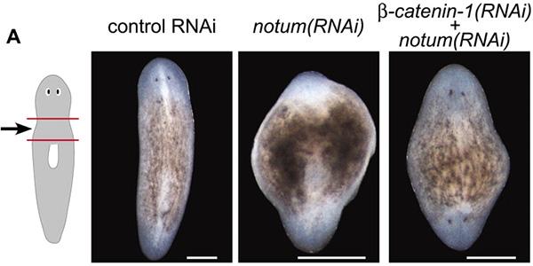 Планарии, регенерировавшие вусловиях обработки разными ингибиторами. Фото из обсуждаемой статьи Polarized notum Activation at Wounds Inhibits Wnt Function to Promote Planarian Head Regeneration вScience