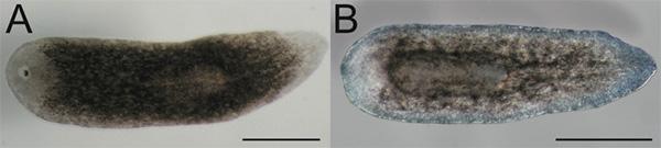 Работа гена Smed-prep подавлялась спомощью РНК-интерференции. Врезультате после ампутации переднего отдела упланарии отрастал дефектный передний отдел содним глазом(A) или второй хвост(В). Фото из статьи DanielA. Felix, A.Aziz Aboobaker, 2010